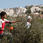 With Israeli settlements on a nearby hilltop, a resident of Al-Walaja picks olives in groves that will be cut off from his home once the Israeli apartheid wall completely surrounds the town as planned, ActiveStills